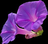 Flower on Black Background (Steven&K20D) Tags: flower roma macro bug san pentax violet fiore viola felice circeo cimice mywinners k20d mygearandmepremium mygearandmebronze