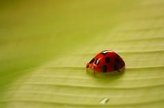 "Read between the lines (""The Wanderer's Eye Photography"") Tags: india green slr closeup canon eos ladybird dslr canon450d canonrebelxsi rubenalexander thewandererseye"