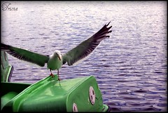 I bag this one! (Patricia Speck) Tags: uk blue light shadow sun reflection green water birds landscape boats duck wings gulls cardiff ripples tricia patricia paddleboats speck roathparklake swales