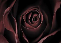 {Explored} (Abdulrahman BinSlmah) Tags: red flower t nikon softness bin explore micro nikkor ramadan khalid vr afs d300 105mm f28g abdulrahman {explored}   stunningphotogpin