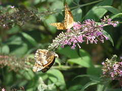 Variegated Fritillary Butterfly 2 (78spacecadet) Tags: butterfly variegated fritillary