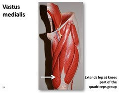 Vastus medialis - Muscles of the Lower Extremity Anatomy Visual Atlas, page 24