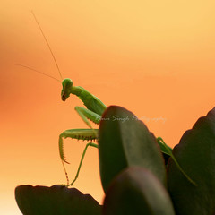 I am beautiful | The mantis series III (Pixychik) Tags: macro green bug insect eyes sharp camouflage ugly prayingmantis pincers antennae hpc hws pixychik renusingh