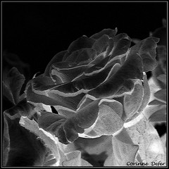 """Végétal""-""Vegetable"" (Corinne DEFER - DoubleCo) Tags: blackandwhite bw france flower texture blancoynegro nature fleur rose square noiretblanc flor nb squareformat 花 blume fiore botanique biancoenero carré naturemorte craquelure végétal blackwhiteaward carréfrançais miasbest updatecollection été2010"