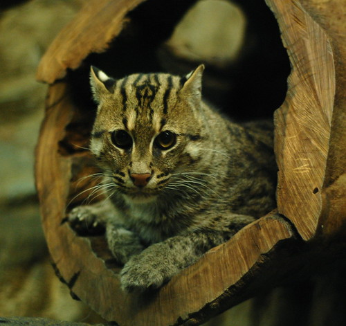 Fishing Cat in a Log