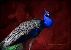 I am beautiful.. (sritej reddy) Tags: blue red india nature beautiful birds zoo pretty wildlife sanctuary peacocks hyderabadphotowalk22