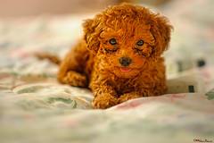 cinnamon girl (MalNino) Tags: pet toypoodle pcc cebusugbo nikkor85mmf2ais colorphotoaward nikond700 updatecollection