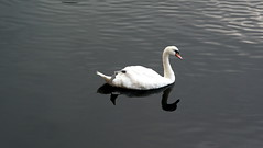 Albert Dock Swan (MarjoS.) Tags: bird water liverpool swan sony albertdock vogel zwaan a300