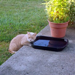 Cat, the kitty from next door 16 August 2010 2445b sq (edgarandron - Busy!) Tags: cats cat feline tabby kitty kitties buff neighbor