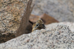 20100802_0896_DxO (Arlen Breiholz) Tags: usa animals geotagged colorado wildlife events places vacations mountevans canoneos7d squirrelsandchipmunks colorado2010 geo:lat=3958767569 geo:lon=10564251864