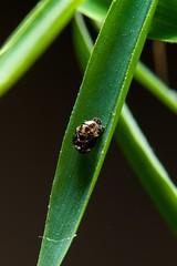 Ladybird empty cocoon