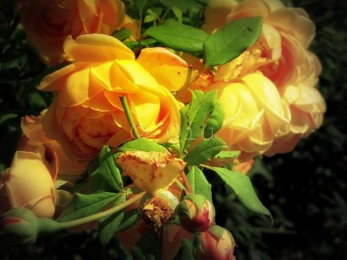 les Roses du Segrais