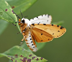 Salt Marsh Moth (DrPhotoMoto) Tags: insect northcarolina lepidoptera arctiinae tigermoth picnik richmondcounty butterfliesandmoths erebidae saltmarshmoth estigmeneacrea estigmene arctiini spilosomina mothnoctuoidea tigerandlichenmoths