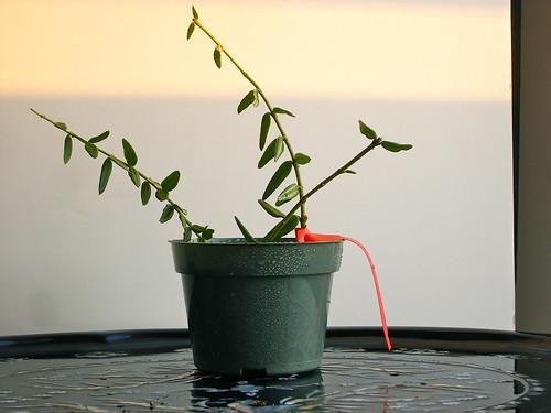 Hoya engleriana Vietnam (big leaf)