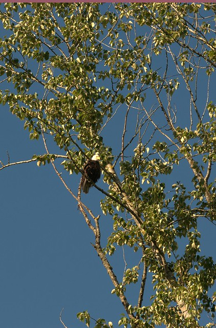 06-12-2010_bald-eagle-OS_rs