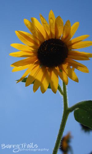 226-sunflower 1