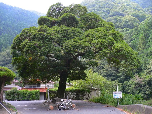 津川のタブの木