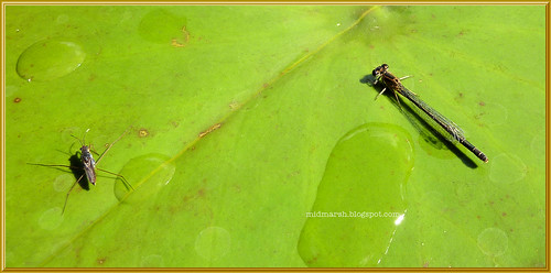 Pond Skater and Female Damselfly