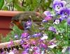 You've Been Spotted Mr Robin ! (Church Mouse 07) Tags: uk flowers summer bird nature robin lumix wildlife august panasonic british 2010 inmygarden wildbird dmcfz28 churchmouse07