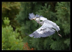 Gone Fishing (Grievous247) Tags: fish bird heron birds flying fishing wildlife feathers large waterbirds naturelovers a700 nbw sonya700 sal70400g