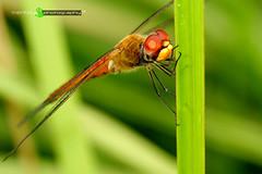 Iktikaf (mEnTeRa @ AgaMax Creations) Tags: red macro green up fly bush close dragonfly details malaysia mentera