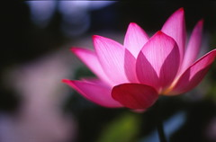 (cocoaloco) Tags: flower t 50mm nikon lotus kodak f14 f3 planar carlzeiss elitechrome100 planart5014
