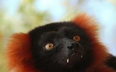 red ruff lemur (laurarnmd) Tags: pix lauras