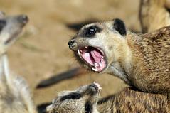Erdmännchen (Michael Döring) Tags: zoo bismarck gelsenkirchen erdmännchen d300 zoomerlebniswelt michaeldöring af80400