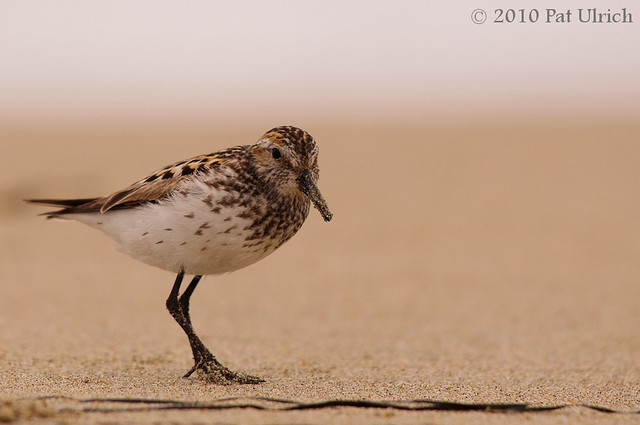 Least sandpiper closeup