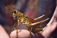 A Colorful Cricket (Alexis239) Tags: colors bug hand arm cricket hold