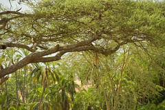 Impala in a tree - Serengeti National Park, Tanzania