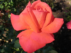 rose (ruthug08(on and off)) Tags: rose rosa gl waterdroplets wassertropfen