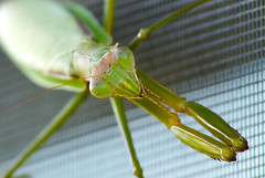 Praying Mantis (Jamie.Sobczyk) Tags: mantis insect outside sony praying screen 2010 a300