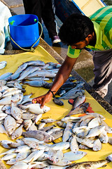 Sorting the catch (Omar Chatriwala) Tags: fish for fisherman gulf display market sale fresh corniche seafood catch doha qatar