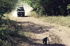 Duel (luca.nassini) Tags: africa park lake nature animal animals tanzania jeep natura rover safari national land animali animale manyara defender savana babbuino