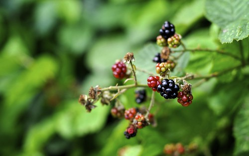 Blackberries Outside St Matthews Church