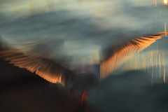 Phoenix Rising (michaelwr) Tags: sunset motion blur beach water silhouette seagull gull landing alkibeach backlit icm cameramovement flappingwings wingfeathers canoneos50d intentionalcameramovement michaelrollins ahndheld rightinfrontofmemaybe4feetaway