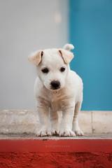Panama (Paolo Caruana) Tags: summer dog white flower cane japan puppy jack mare estate pentax august explore panama midget bastard rosso azzurro cucciolo celeste canon50d