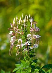 Unidentified Flower Cluster (aeschylus18917) Tags: flowers summer flower macro nature japan season nikon seasons district   pxt 105mm 105mmf28  ibarakiken 105mmf28gvrmicro d700 nikkor105mmf28gvrmicro  nikond700  danielruyle aeschylus18917 danruyle druyle   arai araimachi ibarakiprefecture higashiibaraki  higashiibarakigun oaraicity