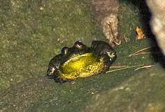 Bullfrog At Night In Hikarigaoka Park, Rana catesbeiana, ウシガエル (aeschylus18917) Tags: park nature japan night tokyo nikon nocturnal g wildlife amphibian frog micro 日本 東京 nikkor rana f28 nerima vr pxt bullfrog 105mm ranacatesbeiana nerimaku anura hikarigaoka 105mmf28 amphibia ranidae 光が丘 hikarigaokapark 練馬区 105mmf28gvrmicro 光が丘公園 d700 nikkor105mmf28gvrmicro ウシガエル bulllfrog ダニエル nikond700 danielruyle aeschylus18917 danruyle druyle ルール ダニエルルール