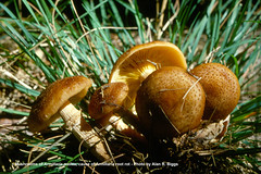 Armillaria mellea - causal agent of Armillaria root rot