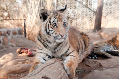 RYALE_Boskoppie_167 (Yale_Rebecca) Tags: africa southafrica tiger tigers lionpark endangeredspecies threatenedspecies bengaltiger breedingcenter breedingprogram kroonstad lionsanctuary rebeccayale rebeccayalephotography boskoppielionpark