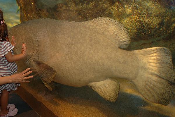 クエ風の巨大魚