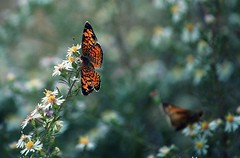 "twenty nine: ""and i taste much better alone"" (mel.bell) Tags: flowers flower butterfly outside bokeh branches butterflies 365 whiteflowers project365"