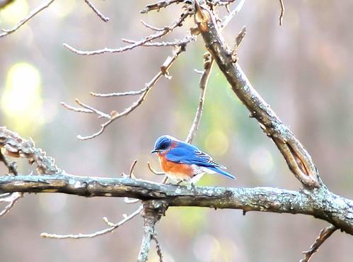 Bluebird :)