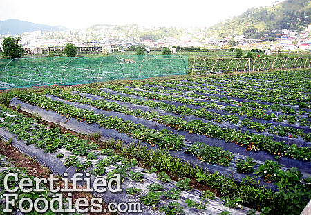 At Strawberry Farm, checking where I should start picking - CertifiedFoodies.com