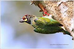 Coppersmith Barbet....Explore (Ericbronson's Photography) Tags: bird nature canon interesting singapore wildlife explore coppersmith barbet megalaimahaemacephala ericbronson