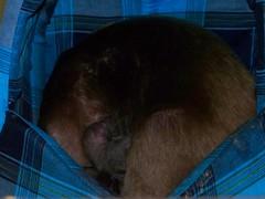 Baby tamandua nursing