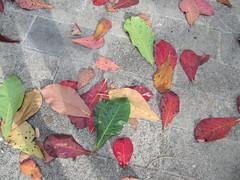 leaves mexico yucatan playadelcarmen riutequila yucatanpeninsula quintanaroo playacar terminaliacatappa combretaceae