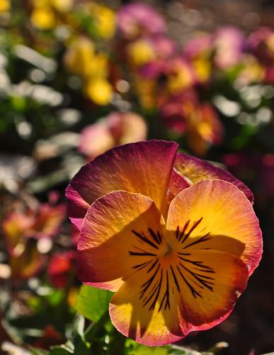 Viola x 'Radiance Red'